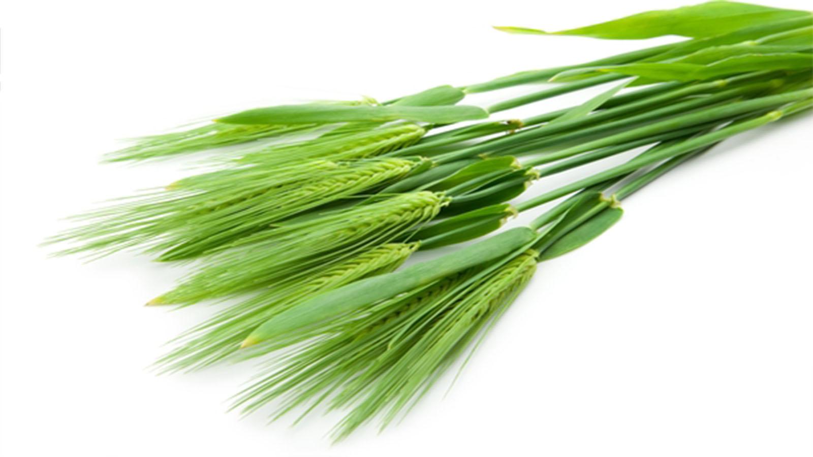 話題の大麦若葉にはどんな効果があるの?
